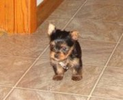 Tea Cup Yorkie Puppies For  Adoption(jamesflynn30@yahoo.com)