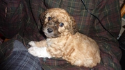 Poodle/Chihuahua Puppies!