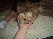 GOLDEN RETRIEVER PUPS!!!