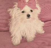 CKC Registered Maltese